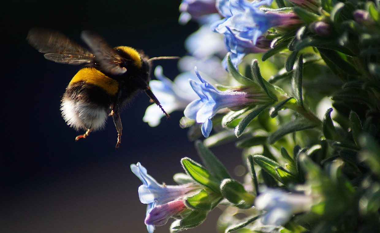 Spotlight on Research- Buff-tail bumble bee