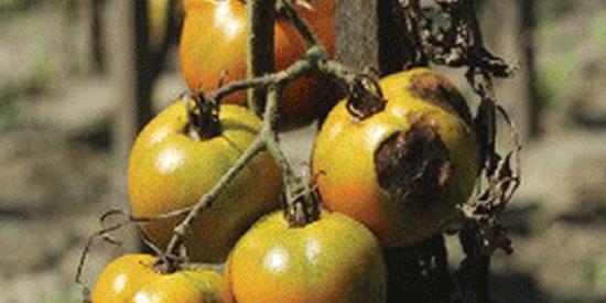Tomato Fungus