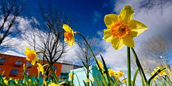 Communications - John Hume Daffodil - Maynooth University