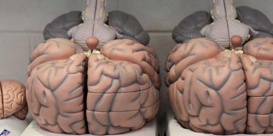 Psychology - Brain Models - Maynooth University